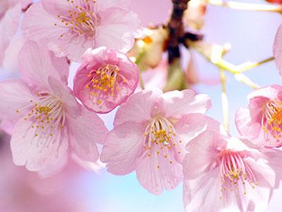 お花見の季節のスキンケア